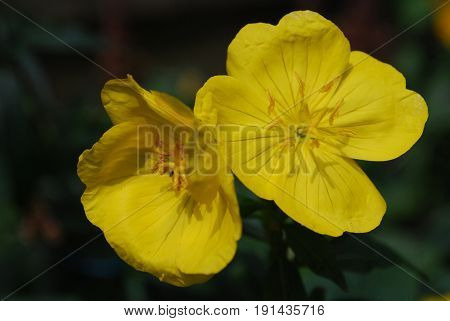 Very pretty blooming yellow evening primrose flowers in a garden.