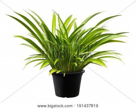 Crinum Asiaticum, Green Leaf Tree Plant Fresh Nature