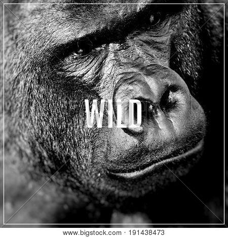 Word Wild. Face Portrait Of A Gorilla Male