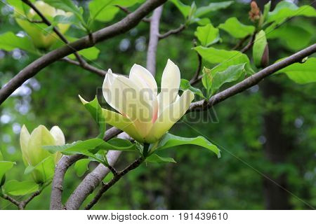 Two white flowers on the branch of blooming magnolia tree