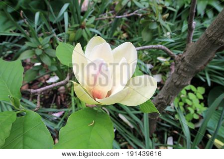 Single white flower on the branch of blooming magnolia tree