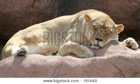 a female lion sleeping on a rock poster