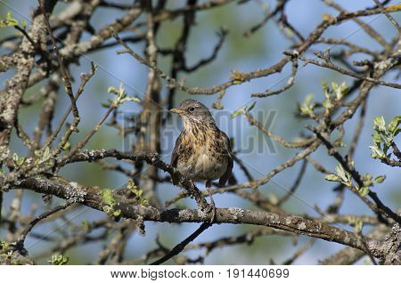 Young Fieldfare among the branches of Apple tree with blooming leaves