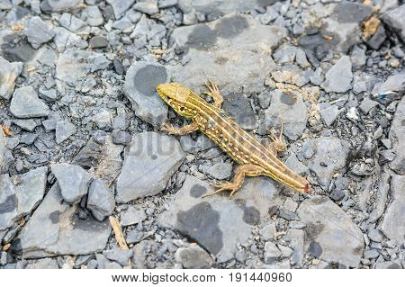 Close up small tailless lizard on stone background