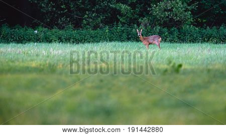 Alert roe deer in field of grass looking towards camera.