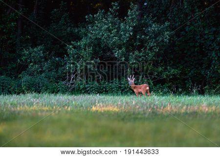Roe Deer Buck Standing In Field At Edge Of Bush.