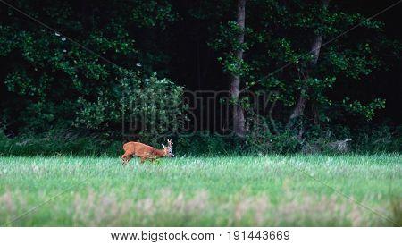 Roe Deer Buck Walking In Field Grass Looking For Food.