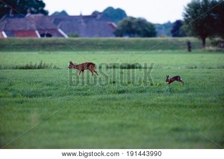 Roe Deer And Hare Walking In Field Of Grass.