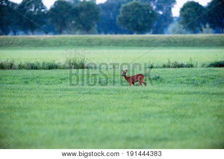 Young Roe Deer Buck Standing In Field Looking Around.