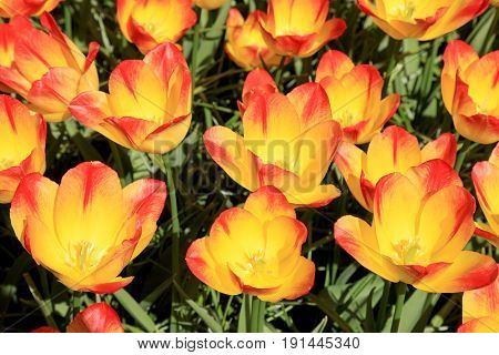 Orange tulips. Close up of colorful tulips in spring flower field of colorful tulips. Selective focus