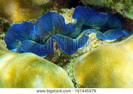 Sea clam Tridakna on corals. Banana beach, Coral (Ko He) island, Rawai, Phuket, Thailand