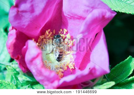 He Bee Collects The Nectar. Pollen