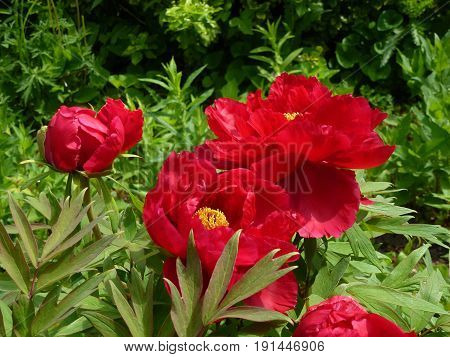 Blooming red peonies on the flower bed