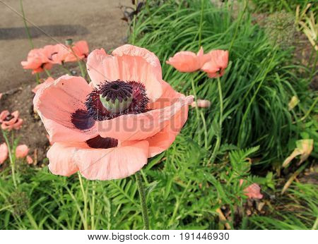 Blooming pink poppy on the flower bed