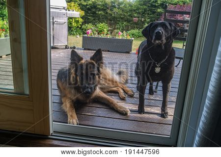 A German Shepard dog and a friend look in from a porch.