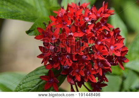 Egyptian star cluster flowers Latin name Pentas lanceolata