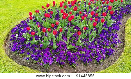 Green lawn with beautiful tulips and violets flowers
