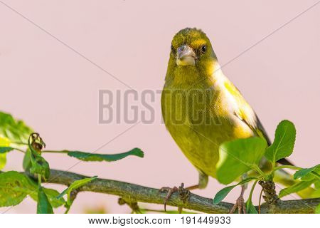 Nice Single Male European Greenfinch