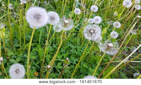 Close up of beautiful white dandelions flowers