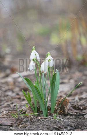 the first spring flowers gentle white snowdrops in the spring wood. Group of Snowdrop flowers blooming in nature
