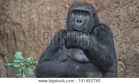 Portrait of powerful African gorilla female, adult