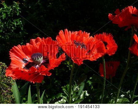 Many red poppies on the dark background