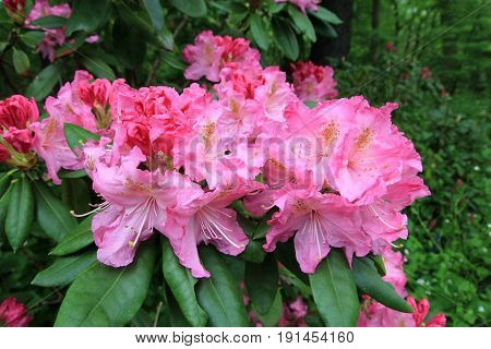 The flowers bunches of pink blooming rhododendron
