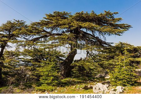 trees of Al Shouf Cedar Nature Reserve Barouk  in mount Lebanon Middle east