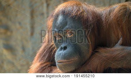 Portrait of sad Asian orangutan adult, female