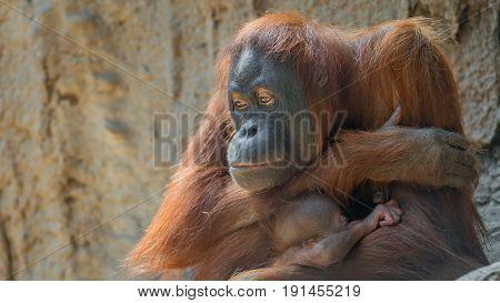 Portrait Of Asian Orangutan And Baby