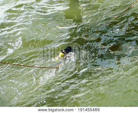 The diver immerses himself in the water with a safety rope