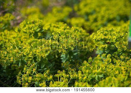 close up on euphorbia myrsinties plant, soft focus