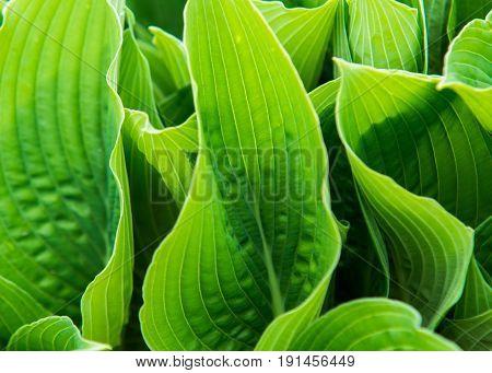 Close Up On Hosta Sieboldiana Green Leafs