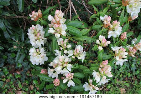 Many flowers of blooming white rhododendron bush