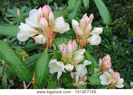 The flowers bunches of white blooming rhododendron