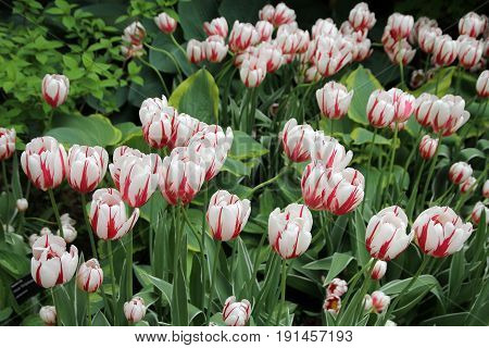 Many colorful tulips on the flower bed as a floral background