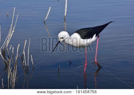 black winged stilt on island Majorca, Albufero nature reserve