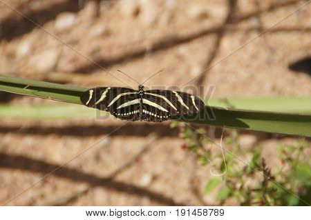 Zebra Longwing (Heliconius Charithonia) butterfly sitting on a plant
