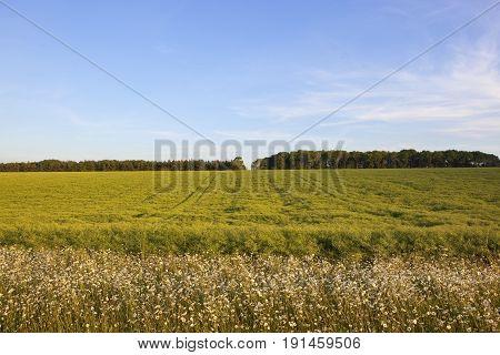 Oilseed Rape And Woodland