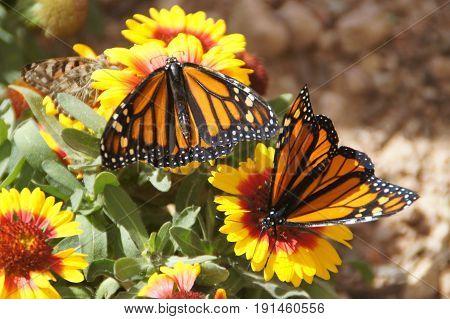 Monarch (Danaus Plexippus) butterflies on a flower