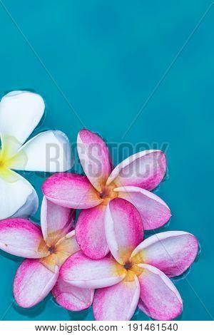 Frangipani Plumeria flower tropical background in blue swimming pool