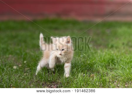 Red kitten playing in a green grass