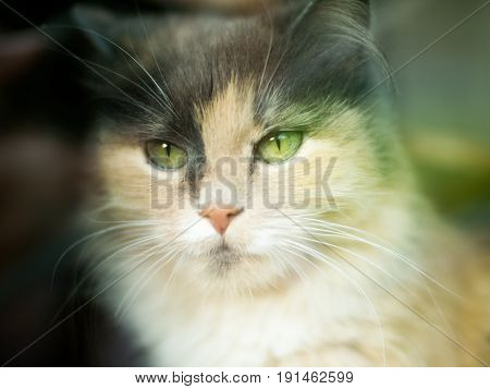 A cat looks at the camera with a three-colored wool with green eyes. Very cute and gentle pet is the concept of the owner's love for his animal and for protecting the environment