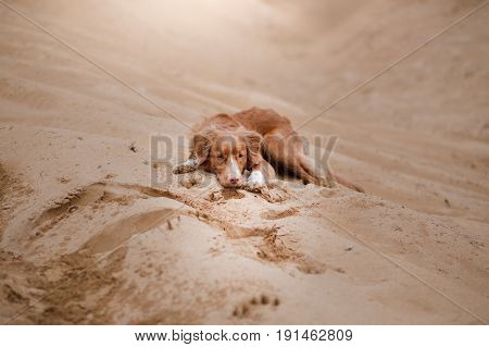 Dog Nova Scotia Duck Tolling Retriever Is Lying On The Sand
