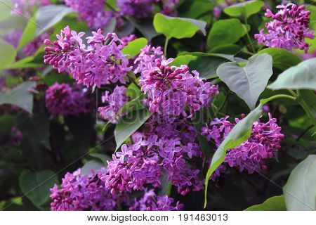 A bouquet of lilacs. Lilac Bush pictures. The purple lilac Bush in summer after rain. Flowers bright cluster
