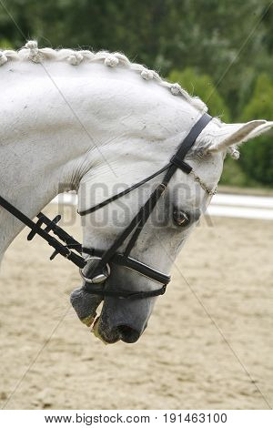 Side view closeup photo of a young lipizzaner horse with braided mane