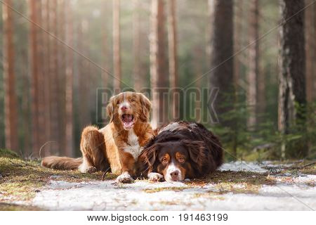 Australian shepherd and Nova Scotia duck tolling Retriever walk in the woods