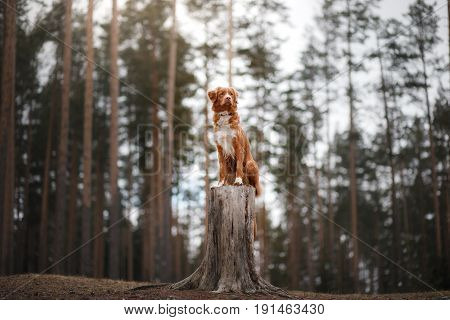 Dog Nova Scotia Duck Tolling Retriever Walks In The Woods