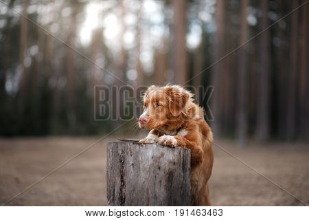 Dog Nova Scotia duck tolling Retriever walks in the woods around trees