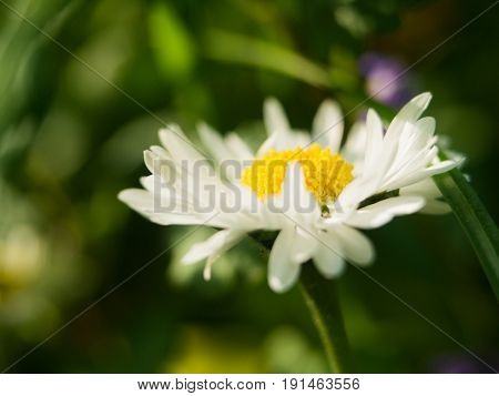 A daisy flower on a green background. One field daisy in the field of gerbera or daisy.